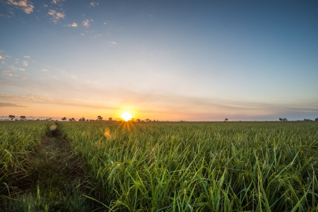 countrified: rice field on sunset background Stock Photo