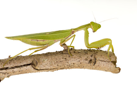devious: Green  Mantis on white background.