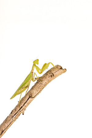 devious: Green Mantis on white background. Stock Photo