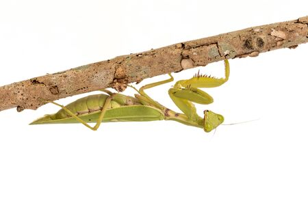 mantis: Green  Mantis on white background.