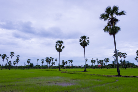Asian Palmyra palm, Toddy palm, Sugar palm with the green grass field