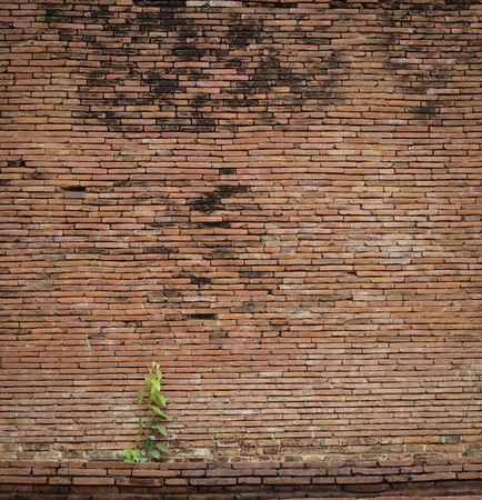 peepal: Old and ruin brick wall background with bodhi tree (Ficus religiosa), vintage effect
