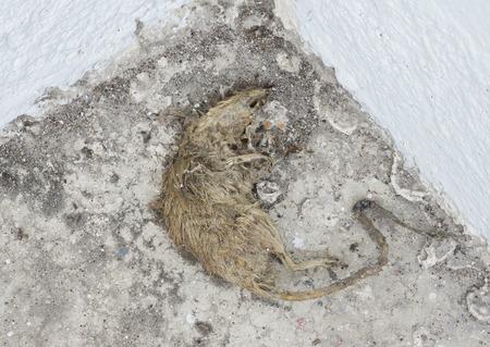 carcass: Dode rat karkas op vuile betonnen vloer