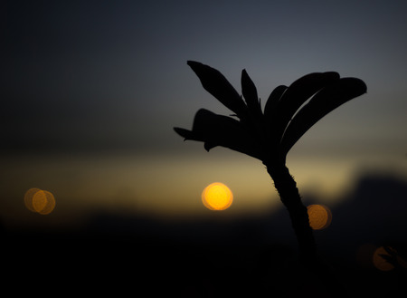 adenium: Silhouette of desert rose flower or Impala Lily or Mock Azalea flower at sunset with round bokeh Stock Photo