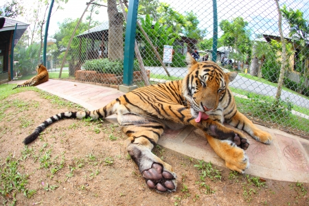 Tigers are sitting cute post photo