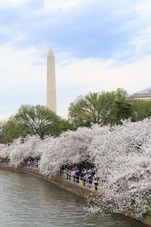 Cherry blossoms around the Tidal Basin in Washington DC with the Washington Monument
