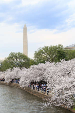Cherry blossoms around the Tidal Basin in Washington DC with the Washington Monument photo