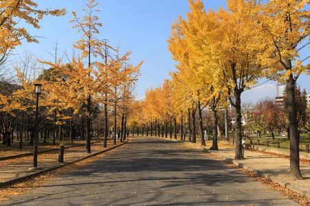 ginkgo tree: Ginkgo Tree in Autumn