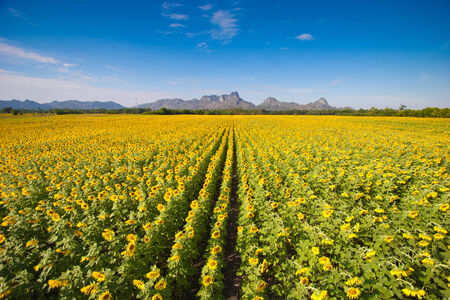 sunflower field over cloudy blue sky Image photo