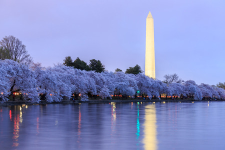 Cherry blossoms in peak bloom. Washington D.C. Editorial