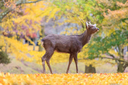 Tree autumn - Deer live freely in Nara, Japan. Stock Photo