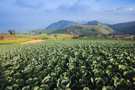 Many green cabbages in the agriculture fields photo