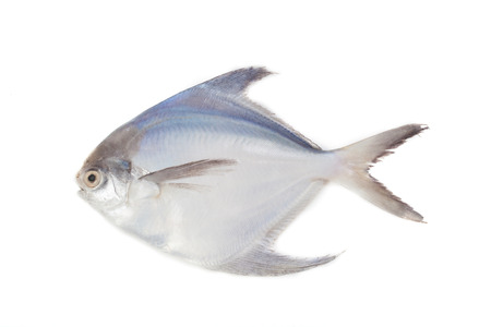 White Pomfret on the white backbround. Stock Photo