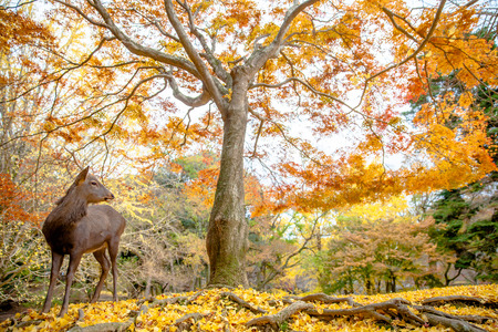 unharmed: Tree autumn - Deer live freely in Nara, Japan. Stock Photo