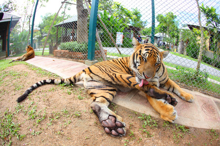 A Tigers are sitting cute post photo