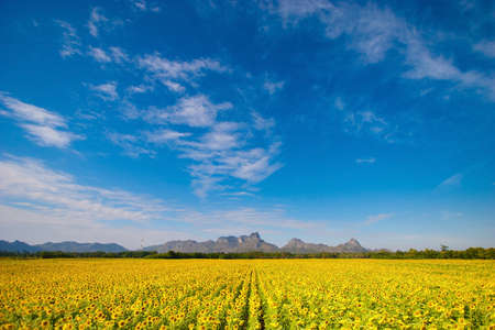 afield: blue sky and the sunflower field