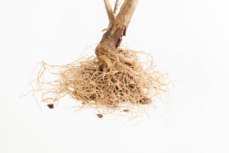 deep roots: Isolated deep dead roots on the white background Stock Photo