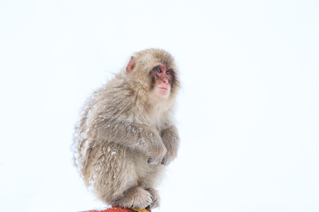 Snow Monkeys in Jigokudani Monkey Park, Nagano, Japan 写真素材