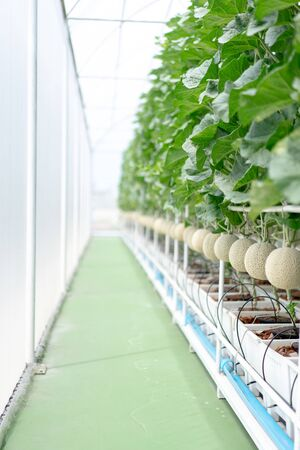 Farm is Japanese Melon Plants in Greenhouse. Line of Green Melon plant Growing in Organic Garden. Japanese Cantaloupe is Favorite Fruit in summer. Imagens