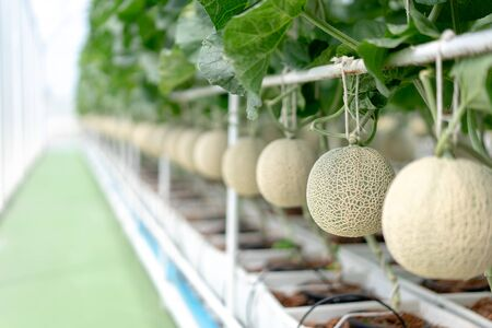 Farm is Japanese Melon Plants in Greenhouse. Line of Green Melon plant Growing in Organic Garden. Japanese Cantaloupe is Favorite Fruit in summer.