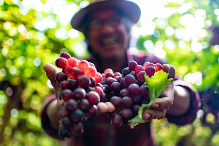Senior Farmers Hands with Freshly Harvested Black or blue grapes. Old Man Farmer Hands Picking Grape and Smile Happy.