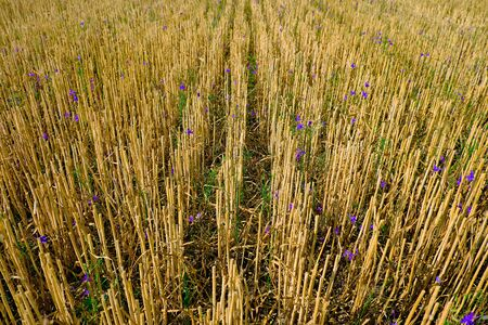 Pattern of wheat stubble with purple wild flowers. Agricultural field after harvest in summer. Stock Photo
