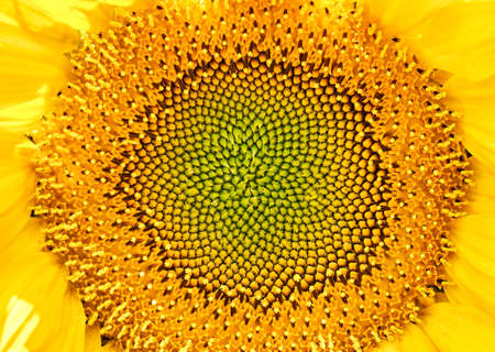 Yellow pattern of blooming sunflower seeds without petals. Close-up shooting of stamens and anthers. Green seeds.