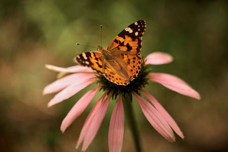 Multicolored butterfly nymphalid Admiral spread its wings on a pink flower of echinacea.