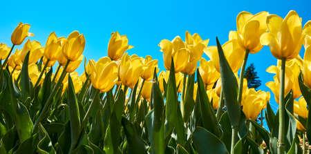 Tulip yellow flowers garden spring background, pattern or texture.