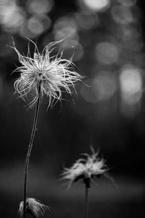 Black and white photo. Ugly dandelion after the rain. Dewdrops. Fluffy dandelion. Bokeh background. Reklamní fotografie
