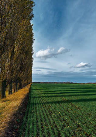 Green field of winter crops on a background of blue sky. Sunny autumn day. Blue sky with fluffy and feathery clouds. Slender yellow poplars stand along the field.