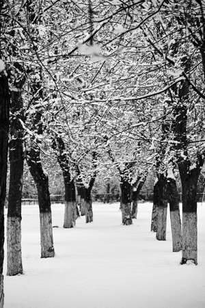 Alley with snow-covered trees. There is snow on the ground. Tree branches are covered with snowflakes.