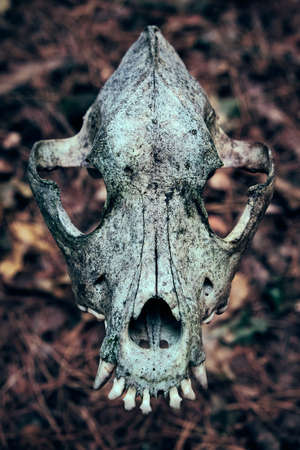 Dog skull isolated on blurred background. Halloween holiday accessory. Full face. Teeth in the foreground.