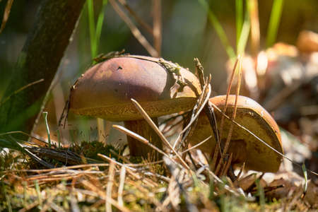 Two boletus edulis bask in the sun in the forest.