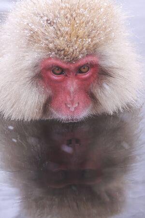 mirror on the water: Onsen Monkey and itself shadow in mirror water at Jigokudani Monkey Park - Nagano, Japan
