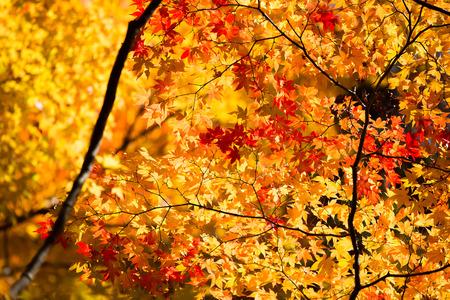 autumn color: Neon Glow Maple at Korankei - Asuke, Japan
