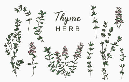 Line herbal collection with thyme.Vector illustration for icon,sticker,printable and tattoo