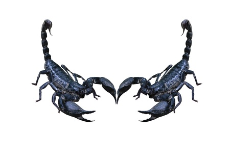 Heterometrus longimanus back scorpion photo