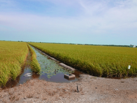 ricefield: The Paddy field landscape in asia country Stock Photo