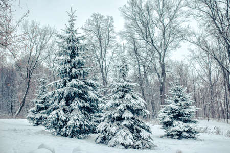 Winter forest landscape. Fir trees and maples covered with snow after the heavy snowfall.