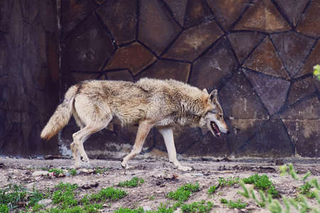 A wild gray wolf walks past the stone wall of a building. Nature reserve. Close-up