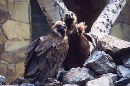 Two large vultures sit on a rock waiting for prey. Nature reserve. Close-up