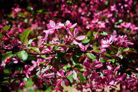 A flowering branch of a decorative apple tree of the Malus Royalty variety. Beautiful dark pink flowers. A sunny spring day. Close-up, selective focus