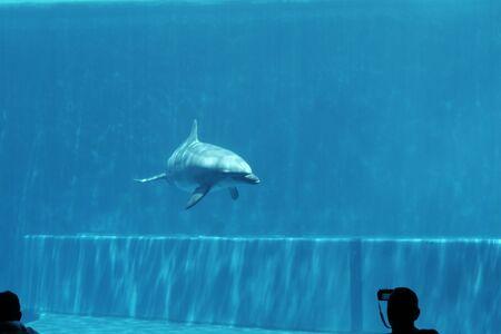 Dolphins underwater at the Genova aquarium