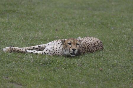 lazy cheetah lying at the zoo