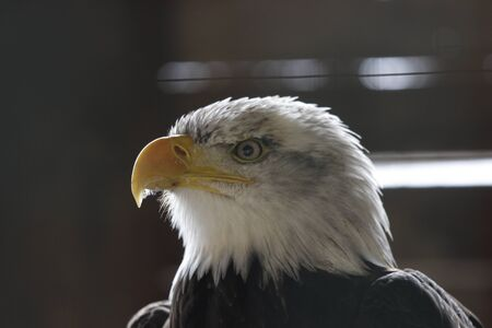 Potrait of eagle watching