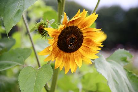 Bumblebee on the sunflower Stock Photo