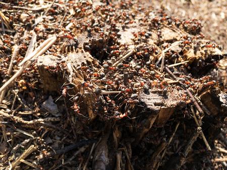 Ants on the tree stump closeup. Selective focus.