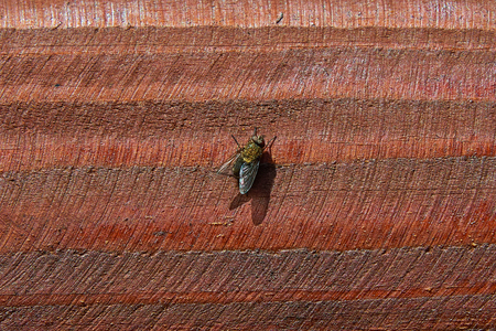 Gray meat fly on the cut of a red tree closeup