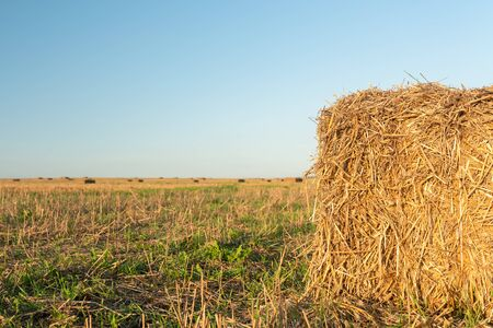 Harvested rye field with square bales of hay on it under evening sunny sky. Selective focus. Agriculture concept.